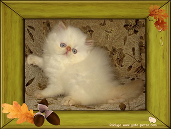 gatito persa himalayo red point